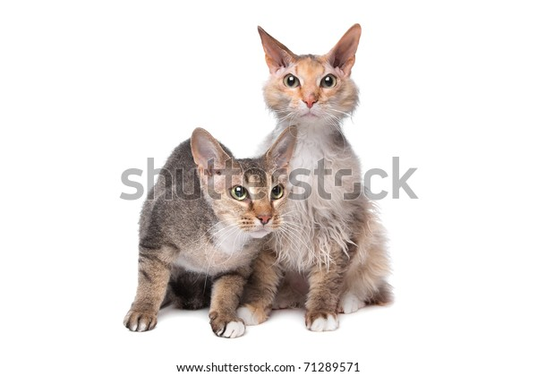 Two Sphynx Cat Hair Stock Photo (Edit Now) 71289571
