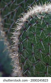 Two spiky cacti close up, grey, green and spiky
