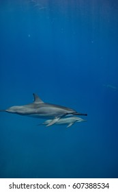 Two spinner dolphins in deep blue water. Wild aquatic animals underwater in natural habitat