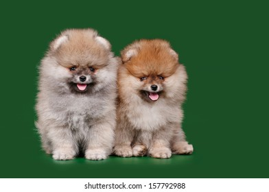 Two Spitz on a green background, isolate