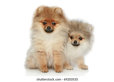 Two Spitz puppies on a white background
