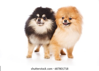Two Spitz puppy dog (isolated on white)