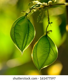 Two splendid green fruit capsules of physalis plant hanging from a fine branch, on unfocused greenish background