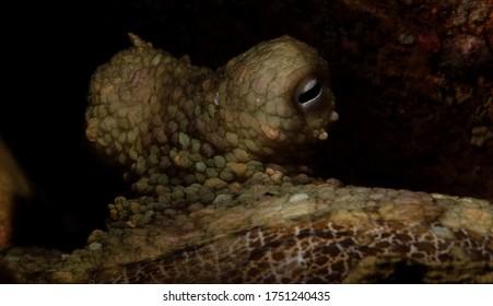Two Spot Octopus, Octopus bimaculatus, Verrill's Two-spot Octopus