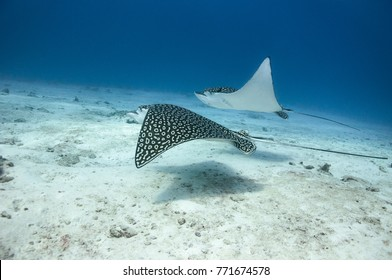 Two spotted eagle rays in Cozumel, Mexico