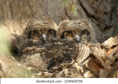 Two Spotted Eagle-Owls babies (Bubo africanus) sitting in the shade in the branch close to her nest. Two young owls with open eyes. Owls in Kalahari desert.