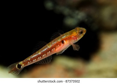 Two Spotted Goby (Gobiusculus flavescens) in Berlengas, Portugal