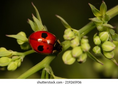 Two Spotted Lady Beetle