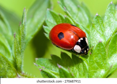 Two Spotted Ladybug