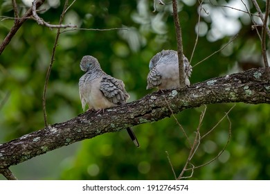 Two spotted turtledoves sitting on a tree branch in a forest