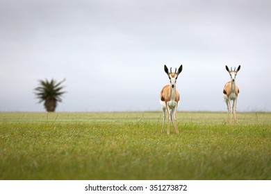 Two Spring buck on an open plain in South Africa looking straight at the camera. Selective focus.