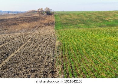 Two spring fields - cultiveted and with young crops. Spring agricultural landscape.