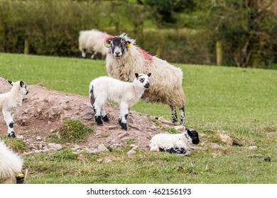 Two Spring lambs and ewe in a green field in Ireland