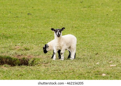 Two Spring lambs in a green field in Ireland