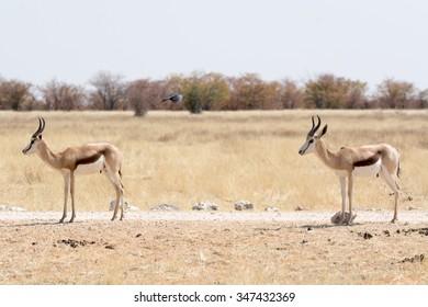 Two Springboks in namibia