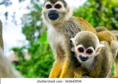 Two squirrel monkeys in the Amazon near Leticia, Colombia