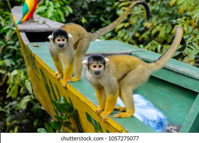 Two squirrel monkeys sitting on a boat in the Amazon jungle, Bolivia