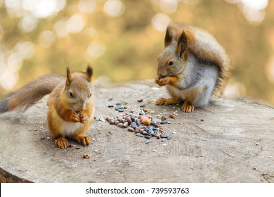 two squirrels eating nuts and seeds on a stump. Squirrels in the Park. two squirrels on a stump.