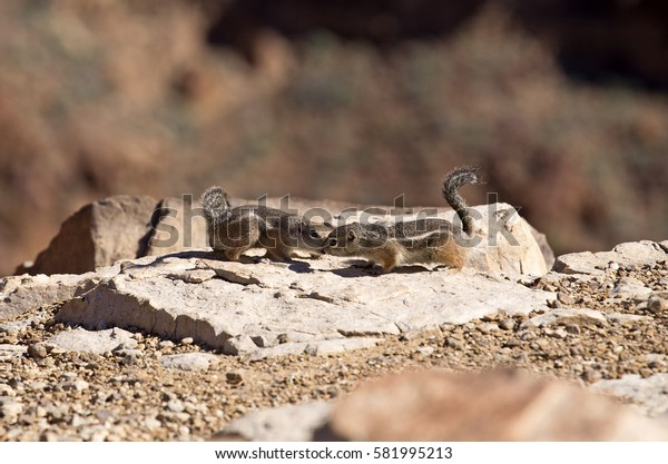 two squirrels kissing on the  Grand Canyon near Las Vegas, Nevada