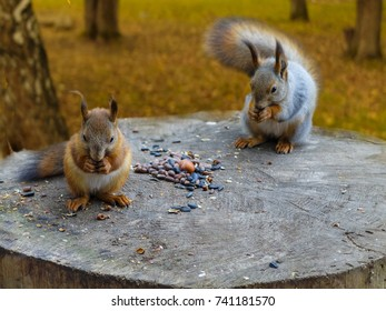 two Squirrels sitting on a stump. two squirrels in the forest. Squirrels in the Park. Squirrels eat nuts and seeds.