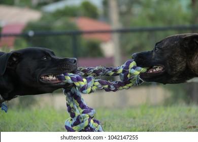 Two Staffys play tugowar