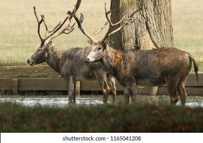 Two stag Milu Deer, also known as Pére David's (Elaphurus davidianus) standing in water. They have been digging up the mud in the lake with their antlers and then tossing it over themselves.