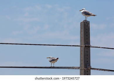 Two staggered seagulls, one on a concrete pole and the other on a telephone cable.
