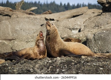 Two Steller Sea Lions laying on rock