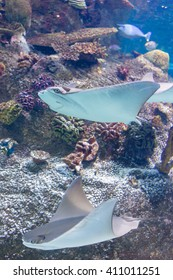Two stingrays gliding through the water in Sea Life Aquarium in Melbourne, Australia