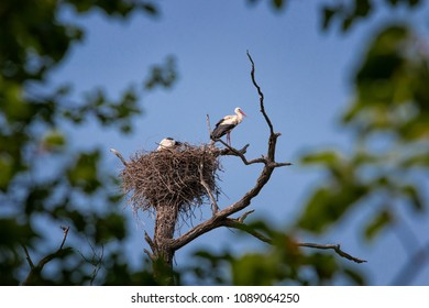 Two storks in their nest on top of tree