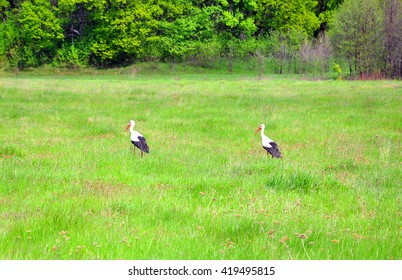 two storks walking on a green field for your design