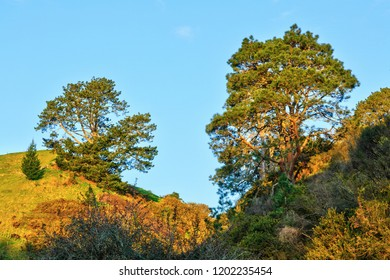 Two Straggly But Picturesque Pine Trees, Growing on Grassy Hills Opposite Each Other. New Zealand Rural Landscape.
