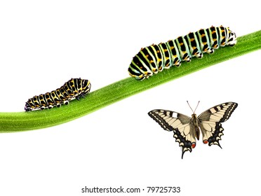 Two striped caterpillars and a butterfly