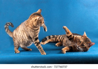 Two striped cats play on a blue background, one cat lies