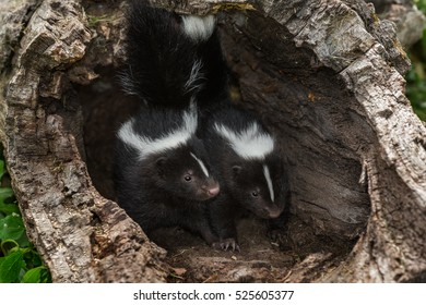 Two Striped Skunk (Mephitis mephitis) Kits Look Out from Within Log - captive animals