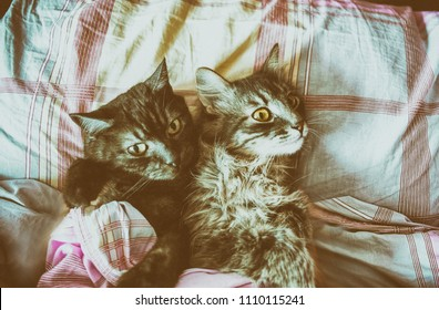 two stripped grey cats together in a bed, vintage style