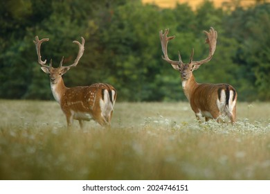 Two strong male fallow deer standing on field during summer morning. Adult fallow deer with huge antlers covered in velvet looking to camera. Wild animals with blurred background. Dama dama.
