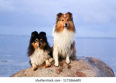 Two stunning smart nice fluffy black sable white tricolor shetland sheepdog