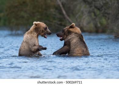 Two sub adult Alaskan brown bears play in Brooks River in Katmai National Park, Alaska