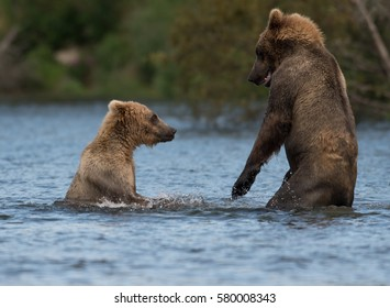 Two sub adult Alaskan brown bears play in Brooks River in Katmai National Park, Alaska