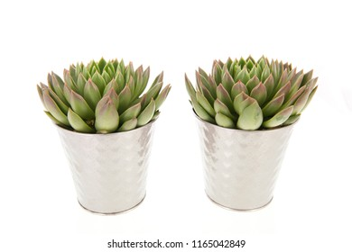 Two succulent plants in metal flower pots isolated over white background