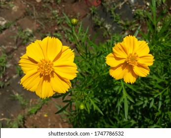 Two Sulfur Cosmos or Yellow Cosmos flowers (Cosmos sulphureus), also known as Bunga Kenikir in Indonesian
