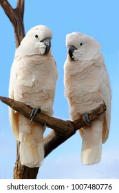 two sulfur crested cockatoo against with a blue sky
