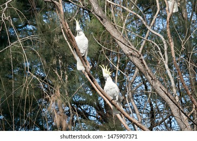 the two sulphur creasted cockatoos are displaying their yellow featherd