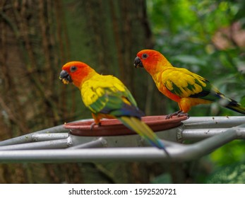 Two sun parakeets at bird feeder