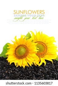Two sunflower and sunflower seeds on a white background with empty space for text