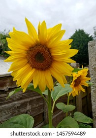 Two sunflowers growing with a cloudy sky