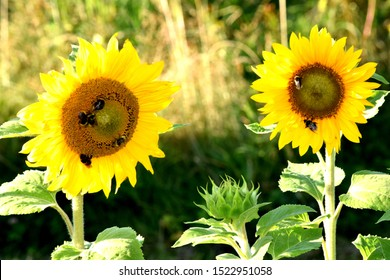 Two Sunflowers with Sunflower Blossoms Sunflower Buds, Bumble Bees on Sunflowers, organic gardening, smallholding, nature concept, health concept