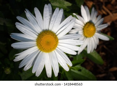 Two sunlit daisy flowers macro sunlit after summer rains.
