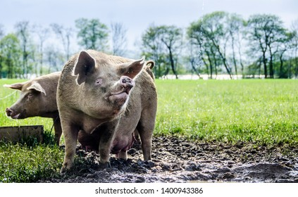 Two sustainable pigs stand in the mud of the organic farm